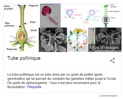 tube pollinique