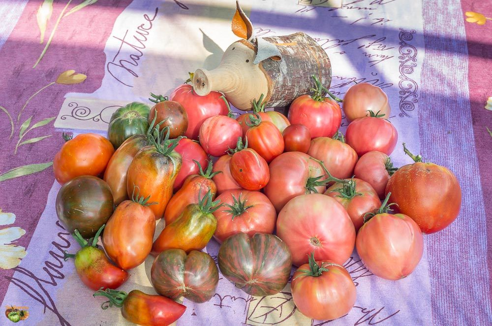 tomate divers 02 octobre 2014-3