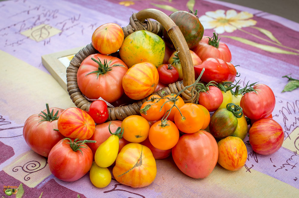 tomates divers 09 octobre 2014-3